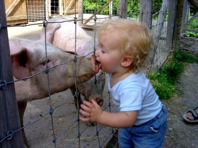 kid licking pig