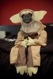 Yoda-pug
